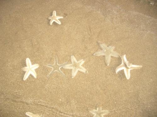индийские морские звезды