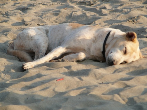 Гоанская собака