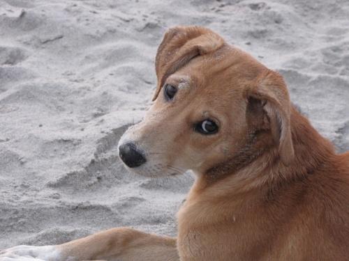 Гоанский пёс