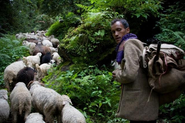 Погонщик овец в районе Ганготри