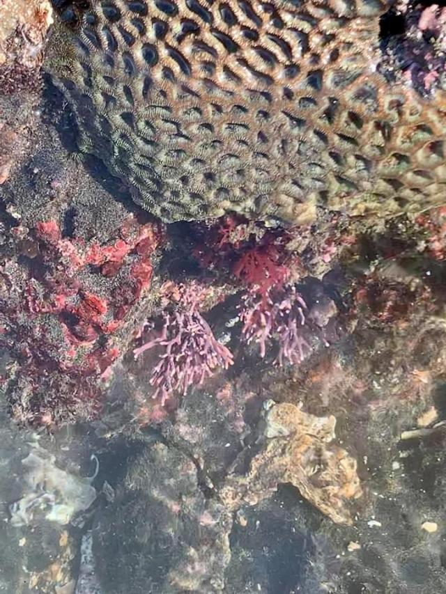 розовые кораллы