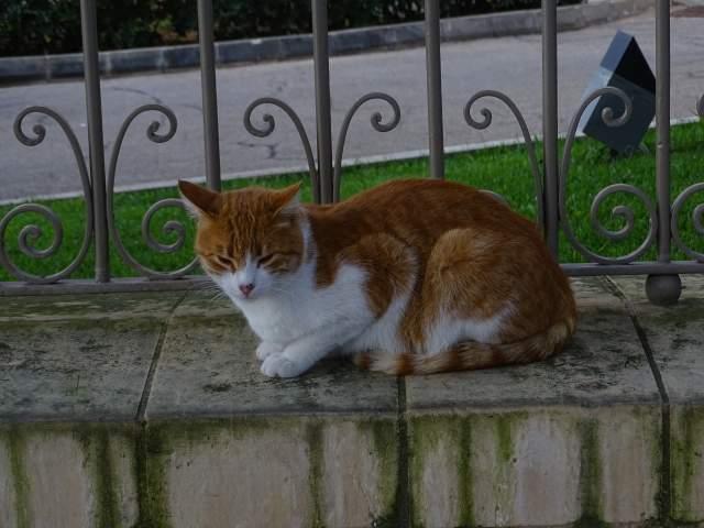 Malteese cat