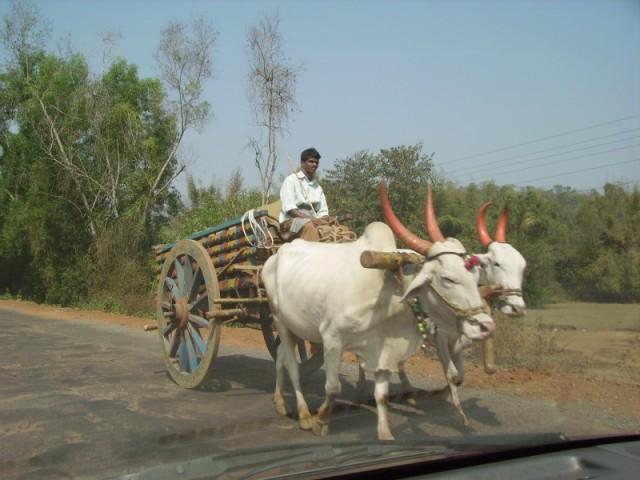 Буйволы в южной Махараштре, недалеко от Парадайс бича