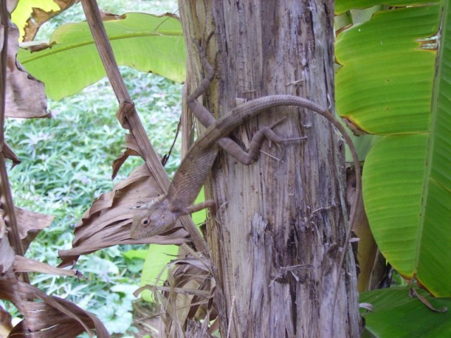 Ящерица, Gokarna