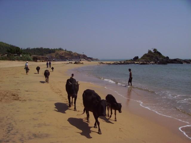 Коровы, Om Beach