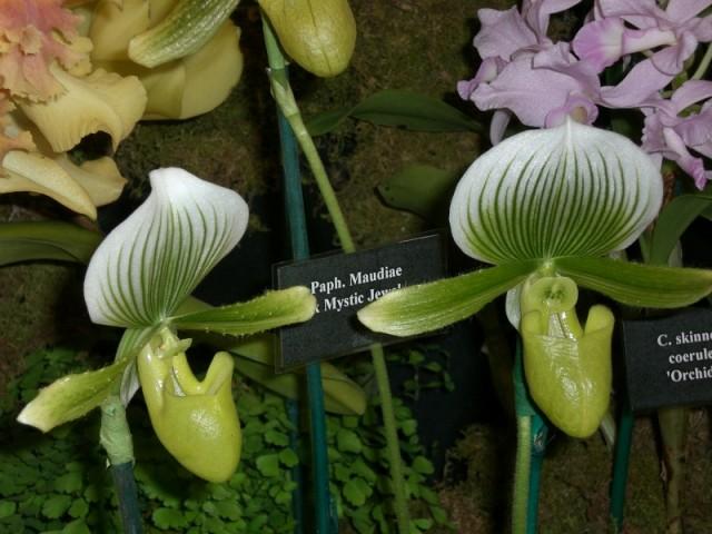 Зеленые орхидеи