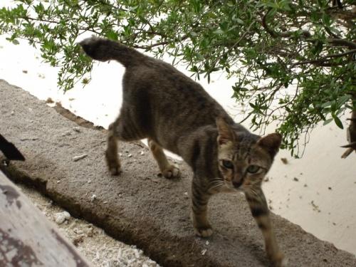 у всех кошек и котов короткий хвостик - генетическое изменение вследствие имбридинга