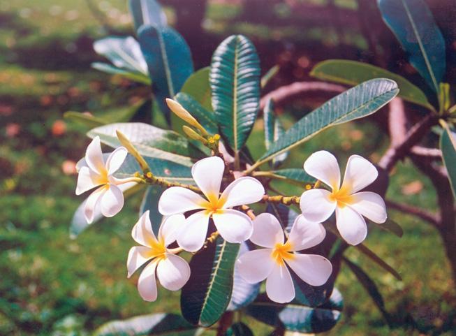 Цветы шри ланка