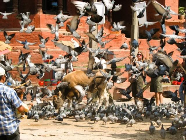 птицы в катманду