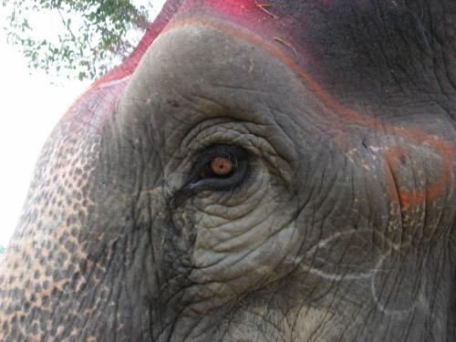 Старый слон из Читвана