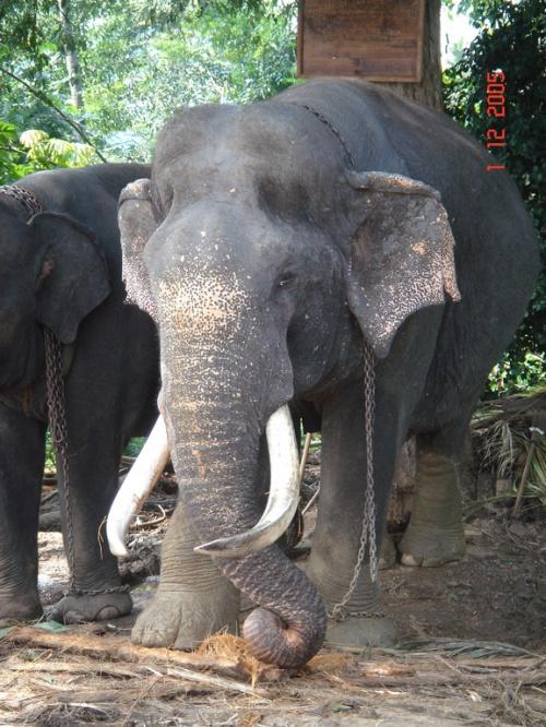 Пинавелла. Слоновий питомник. Слон.