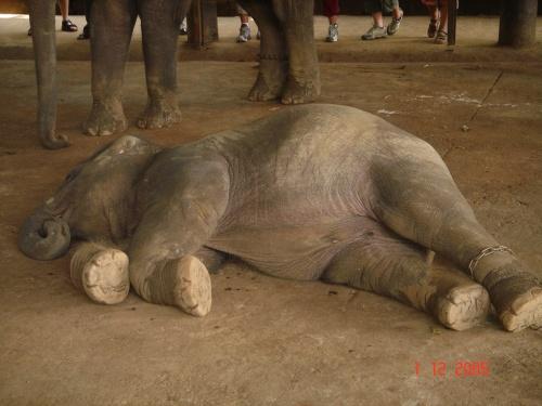 Пинавелла. Слоновий питомник. Устал. Упал. Заснул.