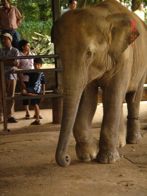 Пинавелла. Слоновий питомник. Слоненок побольше.