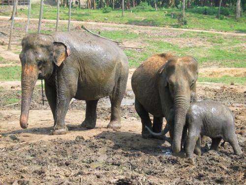 Пинавелла. Слоновий питомник. Сначала, повалялись в грязи.