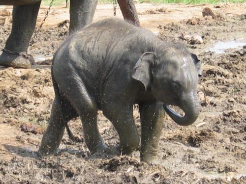 Пинавелла. Слоновий питомник. Смешной слоненок.