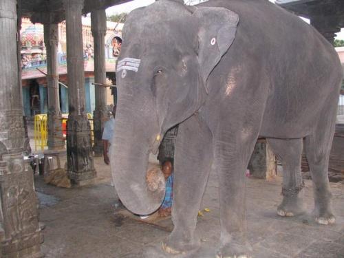 Храмовый слон из Тируваннамалая