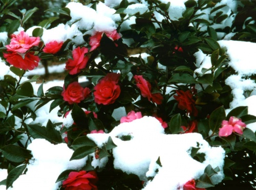 камелия японская (снег тоже :))