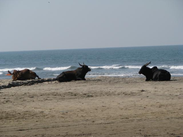 Коровы в Арамболе, мирно жующие пластиковый пакет.