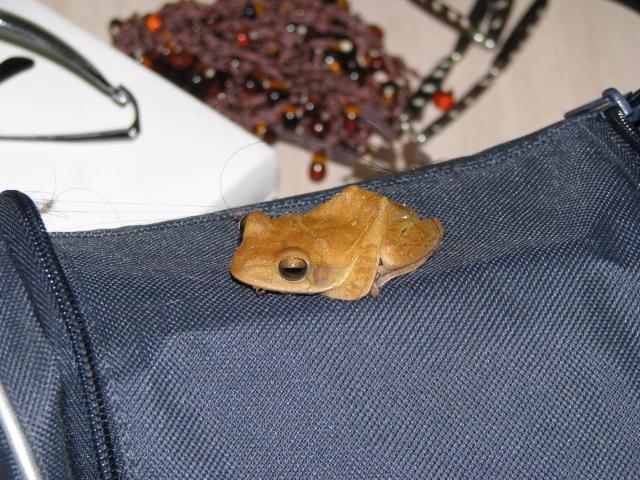 А эта лягушка поселилась у меня в ГестХаусе.