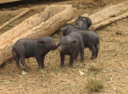 свинячьи нежности