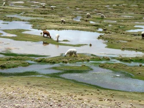 пасутся молодые альпаки