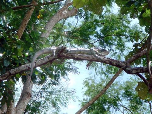 игуана на ветке!