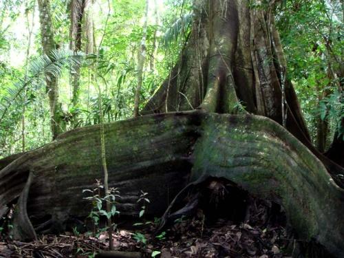снова джунгли: мощные корни