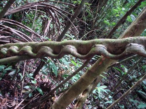 """это дерево называется """"обезьянья лестница"""" :)"""