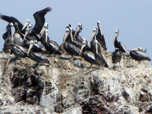 пеликаны! благо, рыбы им там достаточно :)