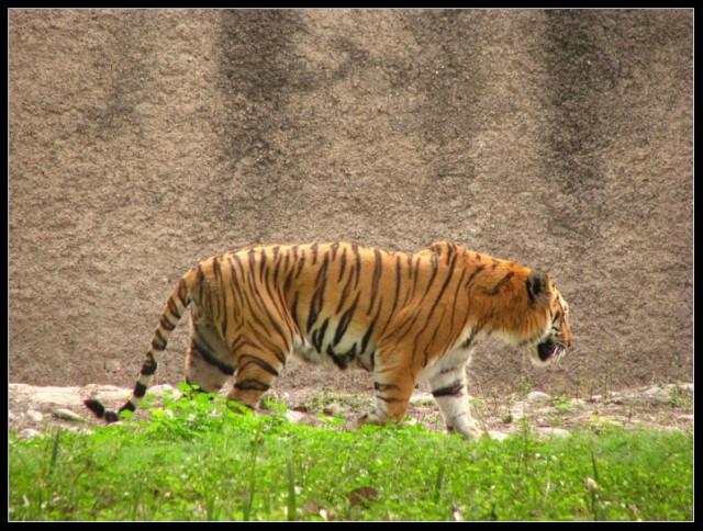 Mahindra Zoo - тигра