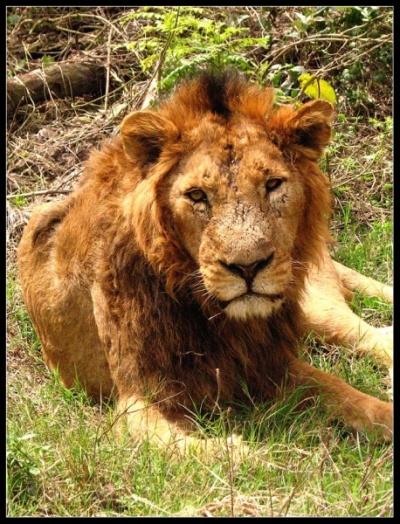 Mahindra Zoo - царь зверей
