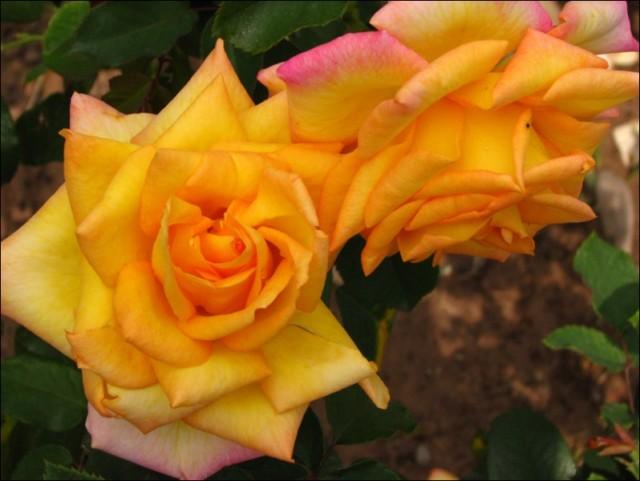 Rose garden - sector 16