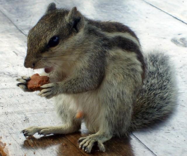 Интересно, что подмешивают в печенье, если бурундук так возбудился? ;)