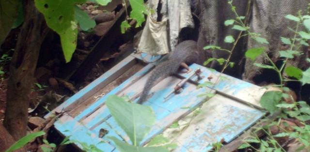 хвост убегающей мангусты на горе Гирнар, Гуджарат