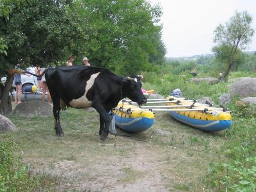 нам помогают местные коровы:)