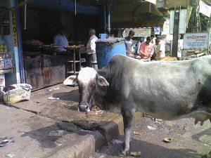 индийская буренка