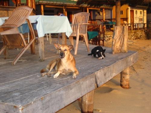 ланкийские собаки