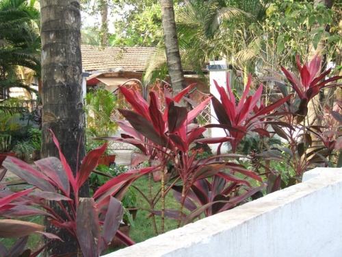 В саду в Гоа