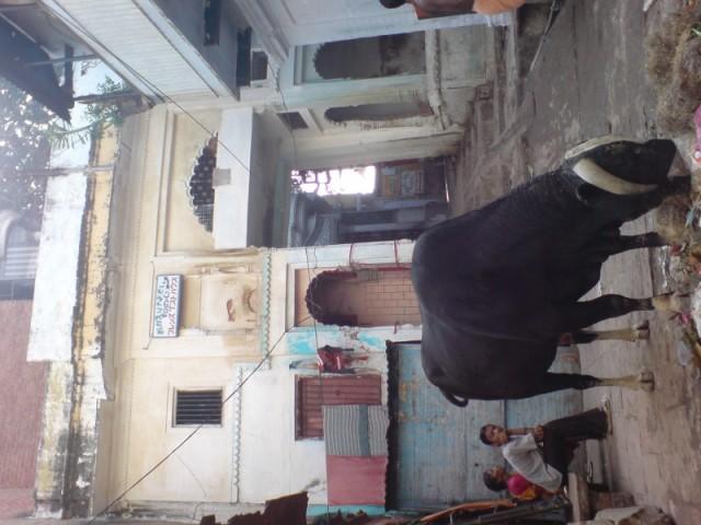 Святое животное пасется на помойке святого града Варанаси!