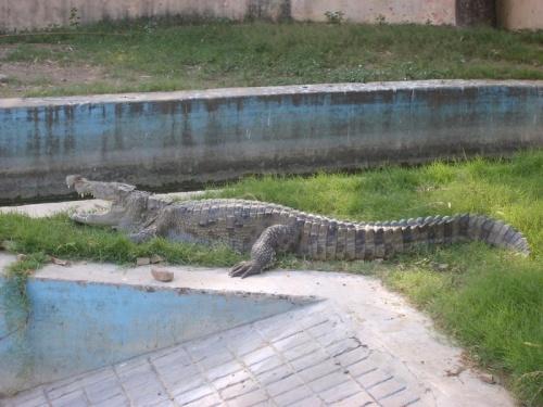 Крокодил, который наверное и издох