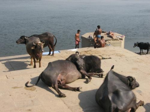 Варанаси, отмороженные коровы