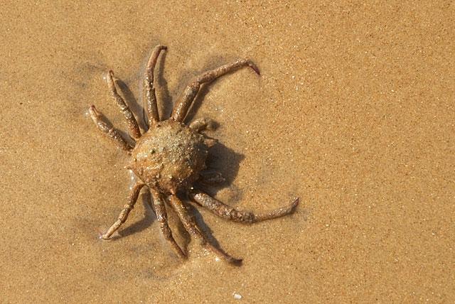 краб, которого только что окатило волной и засыпало песком