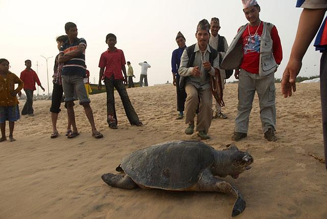 непальские туристы собрались возле мёртвой черепахи, выкинутой на берег волнами