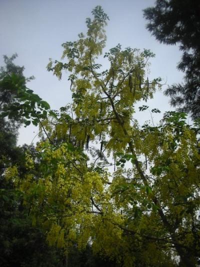 ароматное дерево мохан