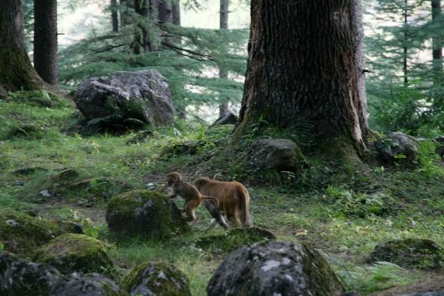 Леша и Катя. Деодаровый лес