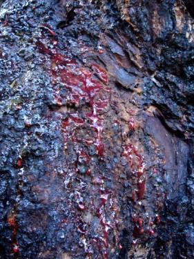 Дерево, которое плачет кровью