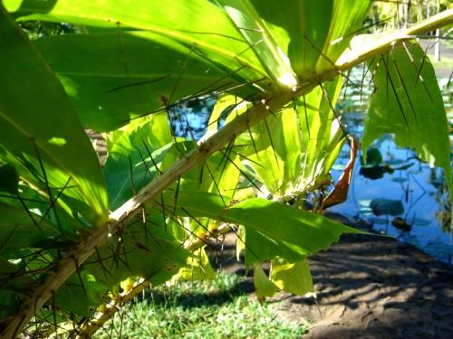 Ботанический сад Памплемусс. Шипастые листья