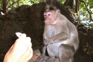 кормить обезьян запрещается...