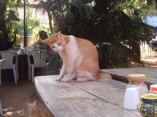 Коты Арамболя