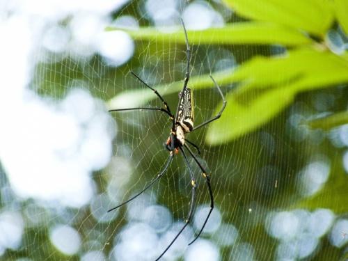 Паук из семейства Нефила (около 15 см с лапами, паутина более 1,5 м). Одна из самых крепких паутин в мире.